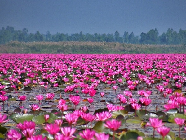 Image result for lotus in dam and lake